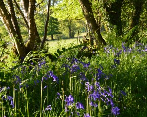 bluebells in the woos