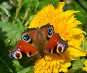 teddy bear sunflower and butterfly