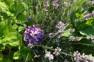 purple hydranger and lavender