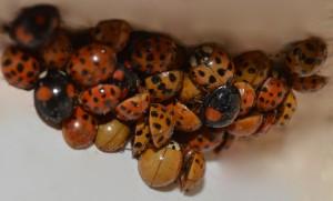 cluster of ladybirds